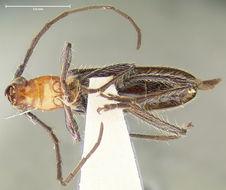 Image of <i>Stenosphenus insulicola</i> Fisher 1942