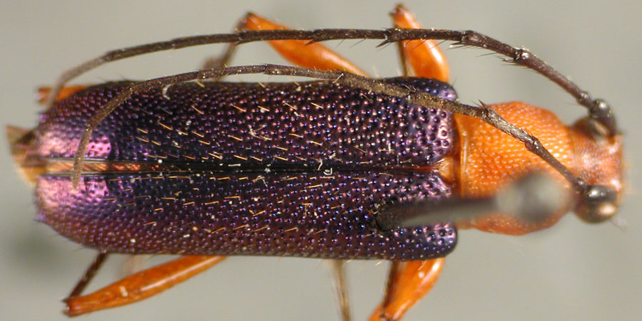 Image of <i>Trichrous violaceipennis</i> Fisher 1942