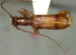 Image of <i>Plectromerus unidentatus</i> Fisher 1942