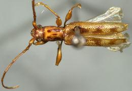 Image of <i>Plectromerus bidentatus</i> Fisher 1942