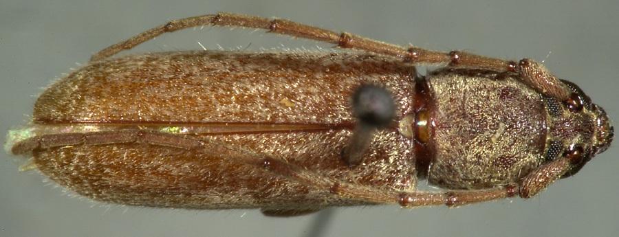 Image of <i>Arhopalus hispaniolae</i> (Fisher 1942)