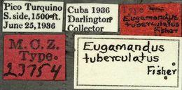 Image of <i>Eugamandus tuberculatus</i> Fisher 1942
