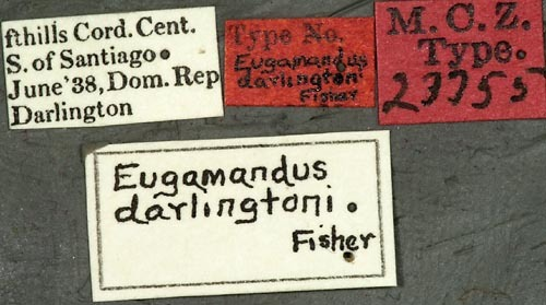 Image of <i>Eugamandus darlingtoni</i> Fisher 1942