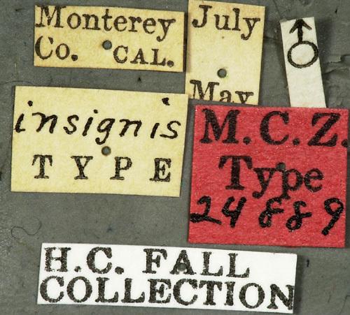 Image of <i>Ortholeptura insignis</i> (Fall 1907)