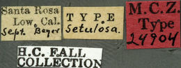 Image of <i>Ataxia setulosa</i> Fall 1907