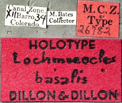 Image of <i>Lochmaeocles basalis</i> Dillon & Dillon 1946