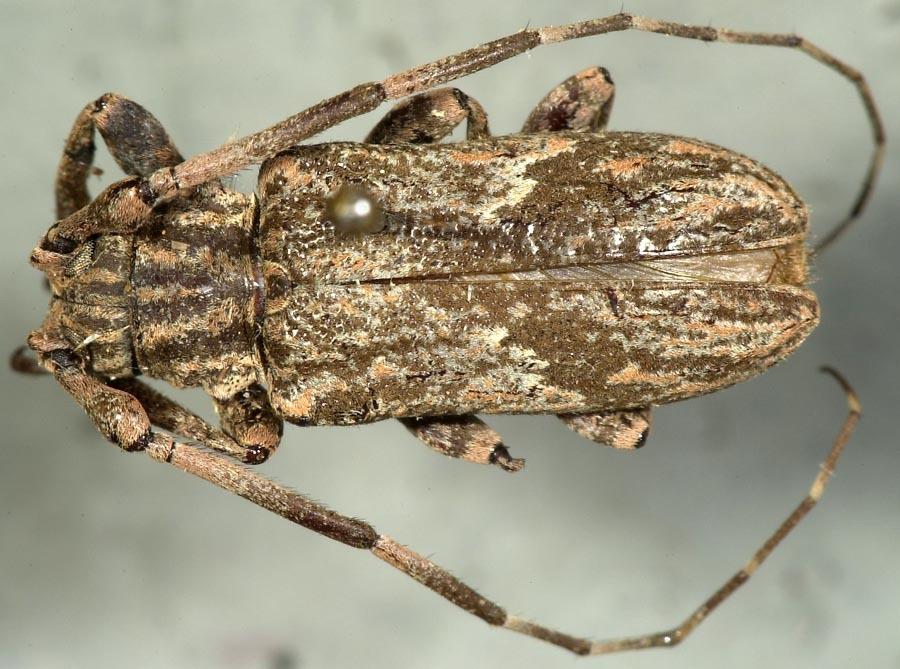 Image of <i>Hesychotypa subfasciata</i> Dillon & Dillon 1945