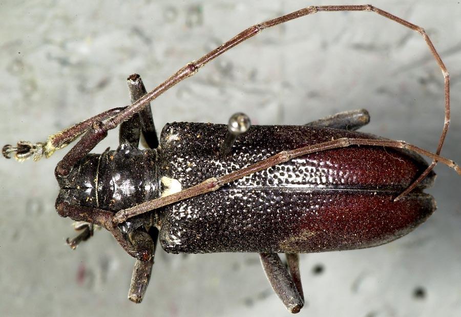 Image of <i>Cribrihammus granulosus</i> Dillon & Dillon 1959