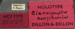 Image of <i>Olenecamptus zanzibaricus</i> Dillon & Dillon 1948