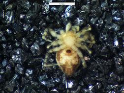 Image of <i>Oecobius concinnus</i> Simon 1893