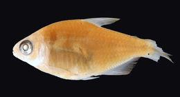 Image of <i>Hyphessobrycon balbus</i> Myers 1927