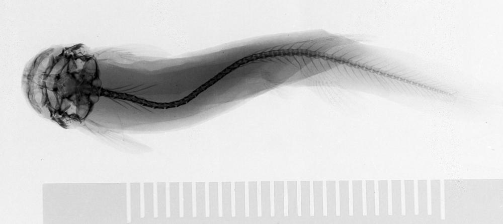 Image of <i>Ochmacanthus alternus</i> Myers 1927