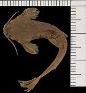 Image of <i>Bunocephalus salathei</i>