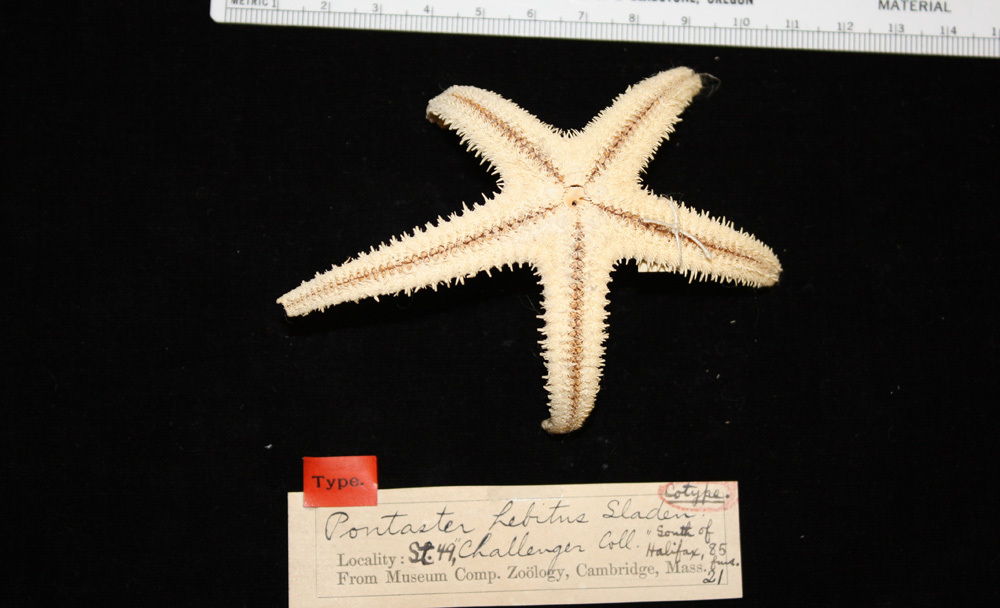 Image of <i>Pontaster tenuispinus</i> (Düben & Koren 1846)