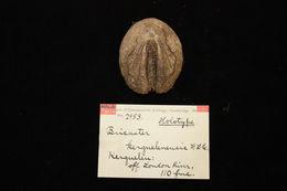 Image of <i>Brisaster kerguelenensis</i> H. L. Clark 1917