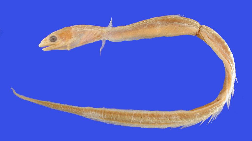 Image of <i>Derichthys iselini</i>