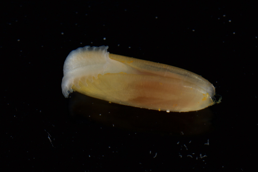 Image of <i>Solemya occidentalis</i> Deshayes 1857