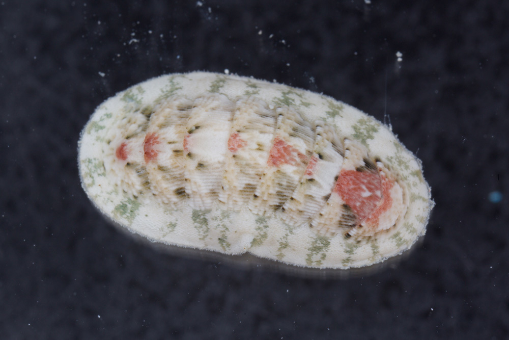 Image of multihued chiton
