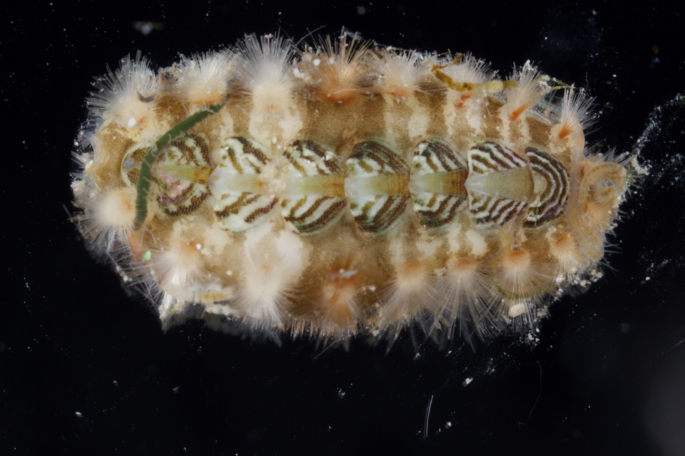 Image of <i>Acanthochitona zebra</i> Lyons 1988