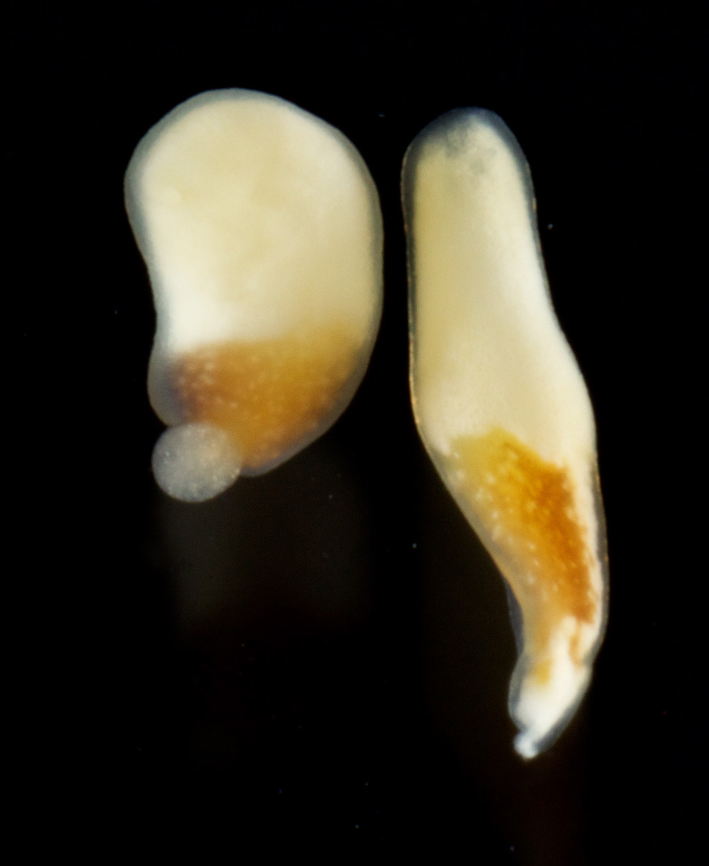 Image of Hofstenia