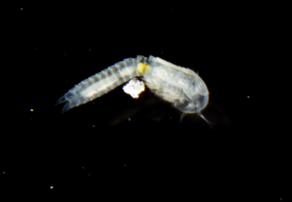 Image of <i>Lightiella incisa</i> Gooding 1963
