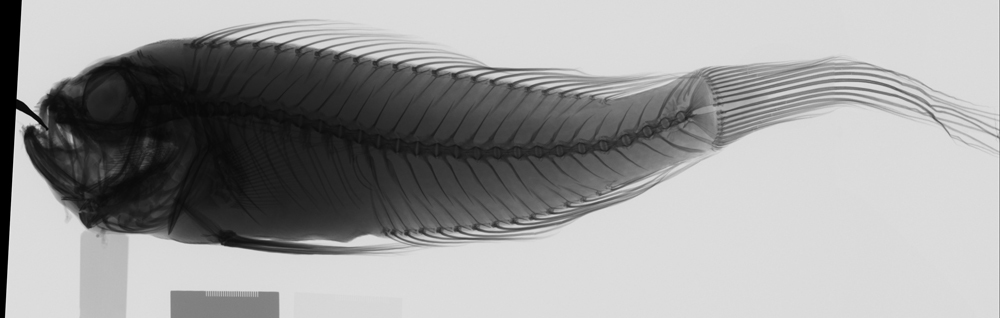 Image of Short-tail bandfish