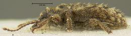 Image of <i>Proterhinus gigas</i> Perkins 1900