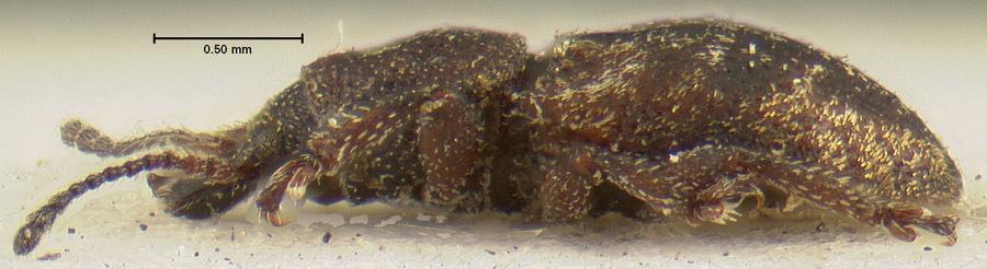 Image of <i>Proterhinus dubiosus</i> Perkins 1900