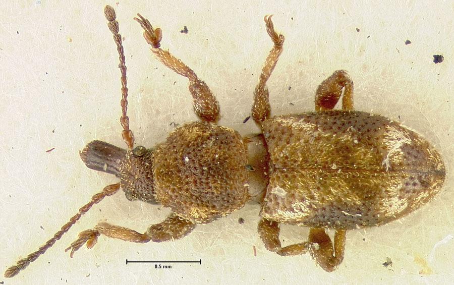 Image of <i>Proterhinus binotatus</i> Perkins 1900