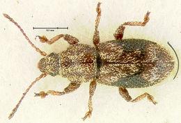 Image of <i>Proterhinus angustiformis</i> Perkins 1900