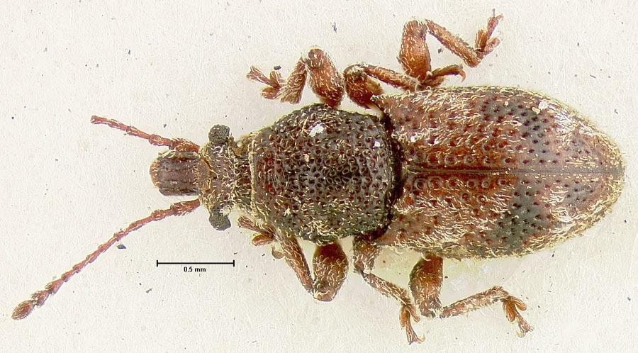 Image of <i>Proterhinus deinops</i> Perkins 1900