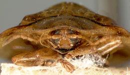 Image of <i>Cassida</i> (<i>Crepidaspis</i>) <i>quadriramosa</i> Gressitt 1952