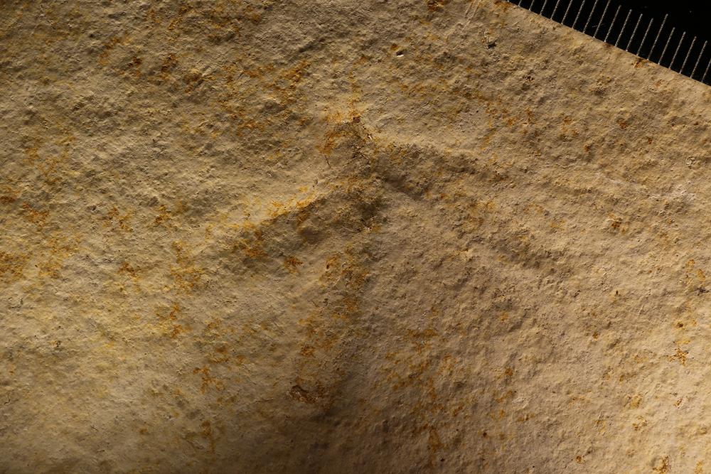 Image of <i>Myrmicium schroeteri</i> (Germar 1839)