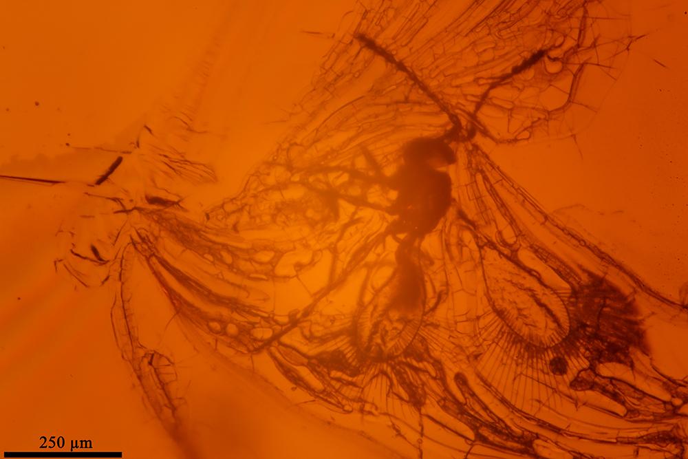 Image of false fairy wasps