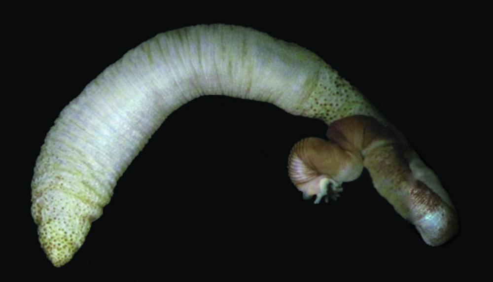 Image of <i><i>Phascolosoma</i></i> (Phascolosoma) <i>scolops</i> (Selenka & de Man 1883)
