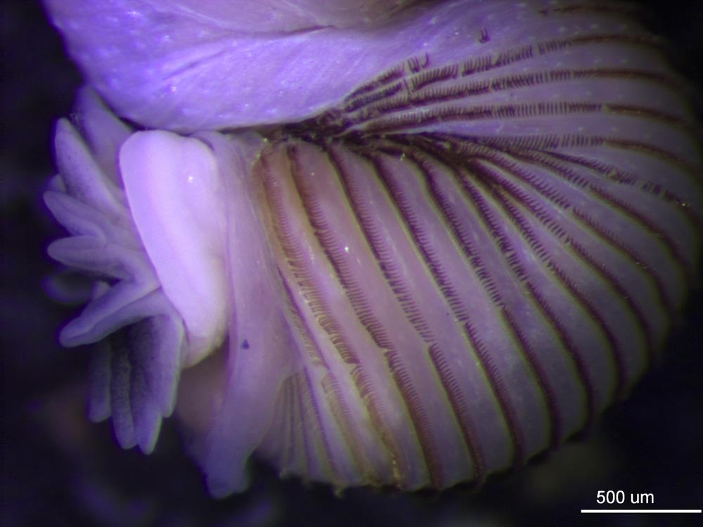 Image of <i><i>Phascolosoma</i></i> (Phascolosoma) <i>perlucens</i> Baird 1868