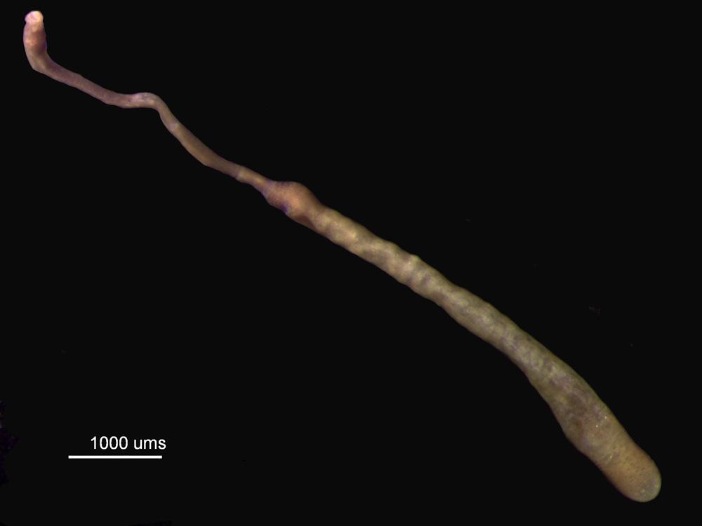 Image of <i><i>Apionsoma</i></i> (Apionsoma) <i>trichocephalus</i> Sluiter 1902