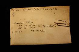 Image of <i>Crisia denticulata</i> (Lamarck 1816)