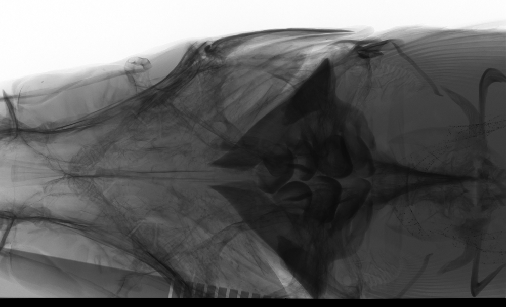 269.32654 mylopharyngodon piceus dorsal x jpg