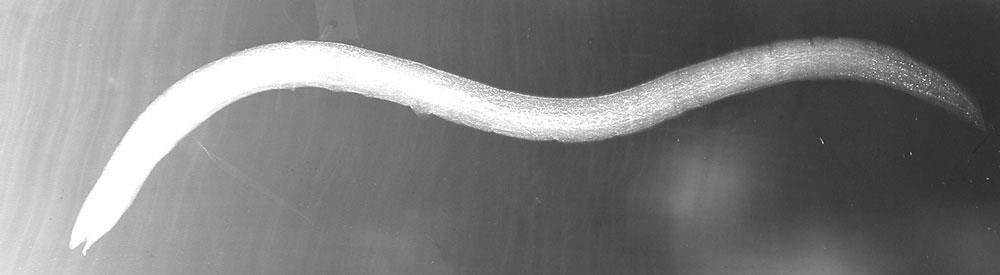 Image of <i>Chrinorhinus torrei</i>