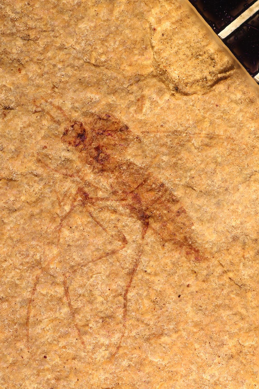 Image of <i>Sciara scopuli</i> Scudder
