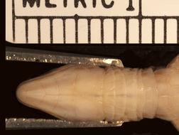 Image of <i>Ptychoglossus nicefori</i> (Loveridge 1929)