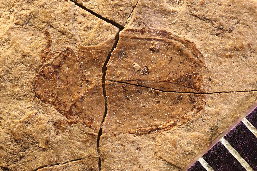 Image of <i>Psephenus lutulentus</i> Scudder 1900