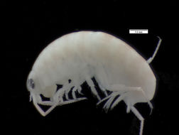 Image of amphipods