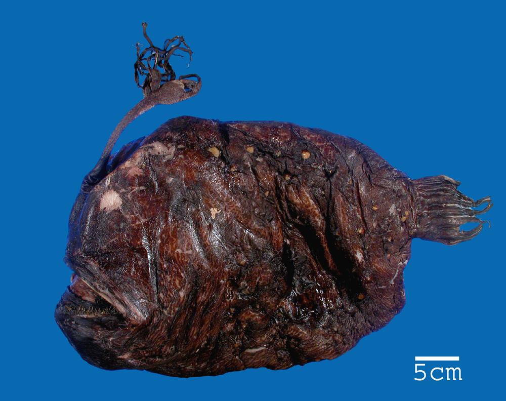 Image of <i>Himantolophus ranoides</i>