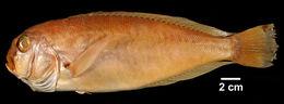 Image of Anchor Tilefish