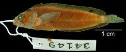 Image of <i>Paraclinus ocellatus</i> Howell Rivero 1936