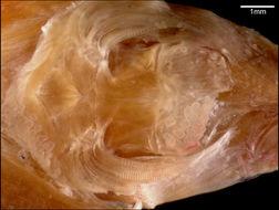 Image of <i>Sicyases yumurina</i>