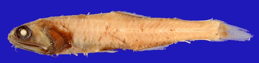 Image of <i>Myctophum oculeum</i> Chapman 1939