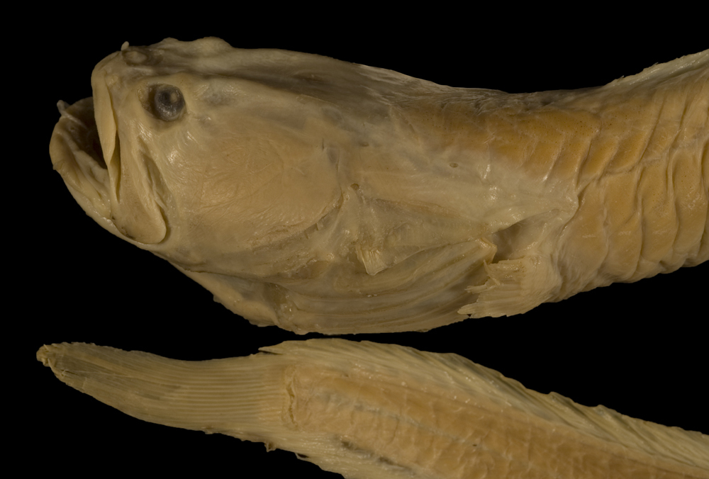 Image of Wrymouth